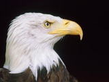 Head of an bald eagle Photographic Print by Lothar Lenz