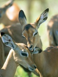 Two Impalas taking care of each other,  Kruger National Park, South Africa Photographic Print by Gabriela Staebler