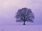 Oak tree, winter landscape, Germany Photographic Print by Frank Lukasseck