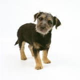 Mixed Terrier Puppy Photographic Print by Pat Doyle