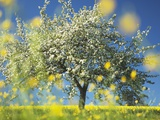 Apple Tree in Bloom Photographic Print by Frank Krahmer