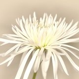 White Chrysanthemum Photographic Print by Brian Yarvin