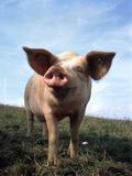 Portrait of Yorkshire piglet Fotografie-Druck von Lothar Lenz