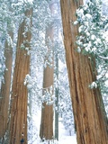 Redwood giants in winter, California, USA Photographic Print by Theo Allofs