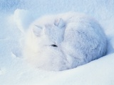 Sleeping Arctic Fox Photographic Print by Eberhard Hummel