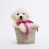 Bichon Frise Puppy Fotografisk tryk af Pat Doyle