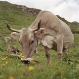 Cattle on pasture, Switzerland, Europe Photographic Print by Alexander Benz