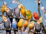 Canaries, budgies and cockatiels perched together Photographic Print by Hans Reinhard