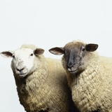 Sheep Standing Side by Side Photographic Print by Adrian Burke