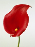 Calla Photographic Print by Josh Westrich