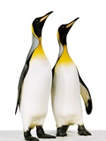 Two king penguins Photographic Print by Josh Westrich