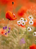 Poppy, camomile and larkspur Fotodruck von Herbert Kehrer