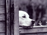 Dog Looking Over Fence Photographie par Tim O'Leary