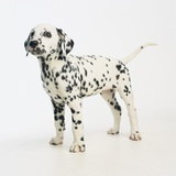 Dalmatian Puppy Photographic Print by Pat Doyle