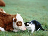Black and White Cat and Calf Touching Each Other with Heads Photographic Print by Hans Reinhard