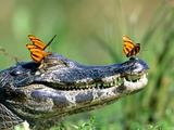 Butterflies resting on caiman Photographic Print by Frank Lukasseck