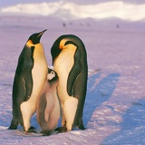 Family of Emperor penguins with fledgling Photographic Print by  Goebel