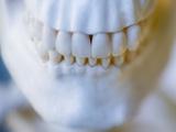Skeleton teeth Photographic Print by Robert Llewellyn