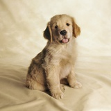 Golden Retriever Puppy Photographic Print by Christopher C Collins