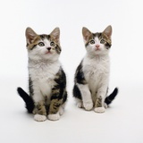 Pair of Kittens Photographic Print by Pat Doyle