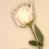 White Rose Photographic Print by Brian Yarvin