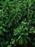 Lush Plants in Hawaiian Rainforest Photographic Print by Ron Watts
