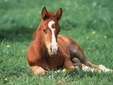 Young Horse Lying in Pasture Photographic Print by Lothar Lenz