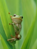 Tree Frog Photographic Print by Markus Botzek
