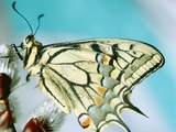 Swallowtail butterfly sitting on a blossom Photographic Print by Oswald Eckstein