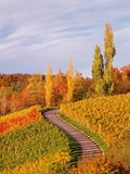 Vineyards and poplars in autumn Photographic Print by Herbert Kehrer