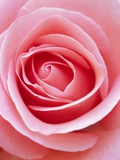 Pink rose Photographic Print by Herbert Kehrer