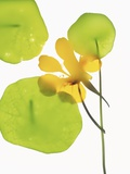 Yellow Nasturtium Flower with Green Leaves Photographic Print by Envision
