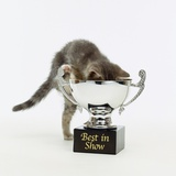 Kitten Climbing into Trophy Photographic Print by Pat Doyle