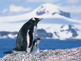 Mother and baby gentoo penguins Photographic Print by Kevin Schafer