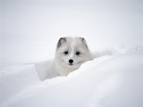 Arctic Fox Peeking Out of Snow Photographic Print by Jim Zuckerman