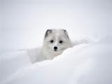 Arctic Fox Peeking Out of Snow Photographic Print by Jim Zuckerman