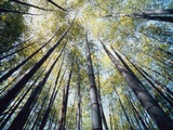 Bamboo Trees in Rainforest, Japan Fotografie-Druck von José Fuste Raga