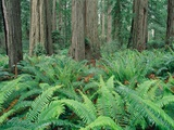 Ferns in forest, Redwood National Park, California, USA Photographic Print by Theo Allofs