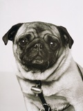 Pug dog Photographic Print by Oliver Lassen