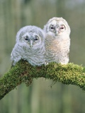 Two young tawny owls perched side by side Photographic Print by Lothar Lenz