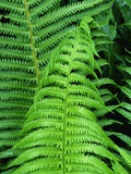 Fern Leaves Photographic Print by Dency Kane