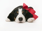 Puppy Wearing Red Bow Photographic Print by Chris Carroll
