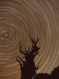 Star Trails and Bristlecone Pine Tree Photographic Print by Frank Lukasseck