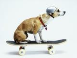 Dog with Helmet Skateboarding Fotografisk trykk av Chris Rogers