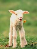 Lamb holding dandelion in mouth Fotografisk tryk af Markus Botzek