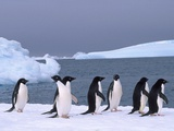 Antarctica, colony of adelie penguins Lmina fotogrfica por Frans Lemmens