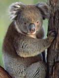 Koala bear Photographic Print by Theo Allofs