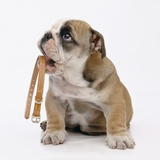 Bulldog Holding Collar Photographic Print by Pat Doyle