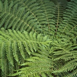 Fern Fronds Photographic Print by Micha Pawlitzki