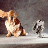 "A Basset Who Is Sitting with ""Flying"" Ears in Front of a Ventilator Photographic Print by Ingo Boddenberg"